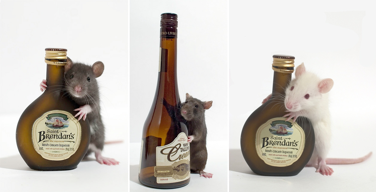 Image result for rats and alcohol